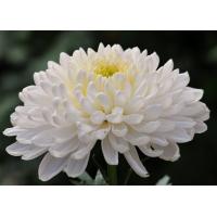 Хризантема Газель (крупноцветковая)