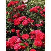 Роза Майнауфойер (почвопокровные)