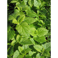 Мелисса Лимонный аромат лекарственная Арт. 5385 | Семена