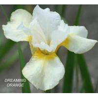 Ирис сибирский Dreaming Orange