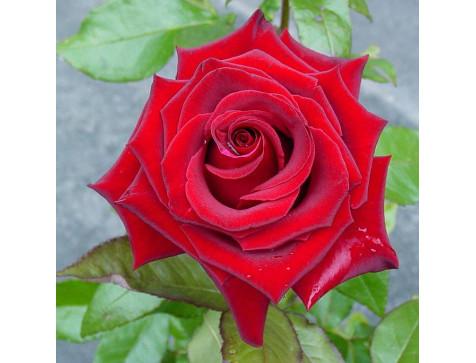 Роза Черная магия(чайно-гибридная)