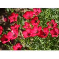 Лен Иллюзия крупноцветковый красный Арт. 5718 | Семена