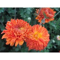 Хризантема Пектораль (среднецветковая)