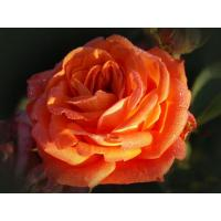 Роза Фольклор(чайно-гибридная)