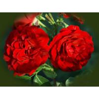 Роза Сантана (плетистая)