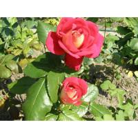 Роза Шанти(чайно-гибридная)