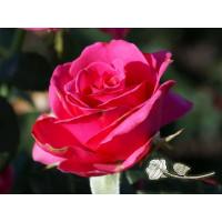 Роза Шокинг Версилия(чайно-гибридная)