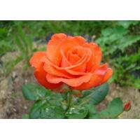 Роза Анжелика(чайно-гибридная)