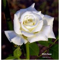 Роза Белая лебедь(чайно-гибридная)