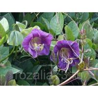 Кобея Амазонка (фиолетовая) Арт. 5705 | Семена