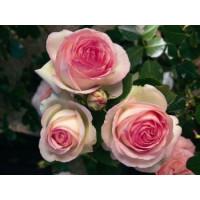 Роза Пьер де Ронсар (плетистая)