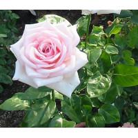Роза Роял Хагнесс(чайно-гибридная)