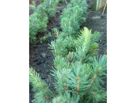 Ель голубая черенок (15-20 см.)