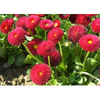 Маргаритка Вечная красавица красная Арт. 5505 | Семена